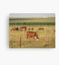 Beef Cattle in Pasture Canvas Print