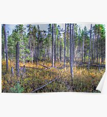 Pine trees in the marsh Poster