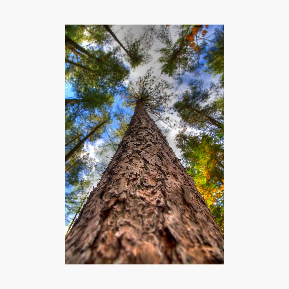 Tall Pine Photographic Print