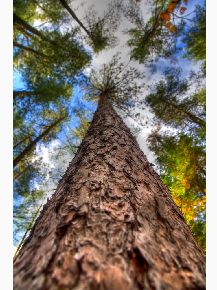 Tall Pine by daveriganelli