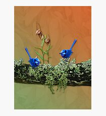Blue Wrens & Winter Orchids Western Australia Photographic Print