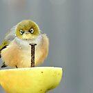 Ahhh! I Am So Sad - Silver-Eye - NZ by AndreaEL