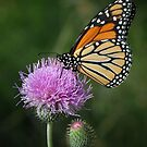 Monarch on Thistle by Colleen Drew