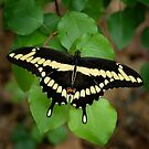 Swallowtail by Colleen Drew
