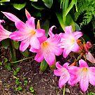 First bloom of the season - Belladonna. by johnrf