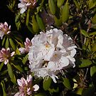 Delicate Beauty - Rhododendron Blossom by BlueMoonRose