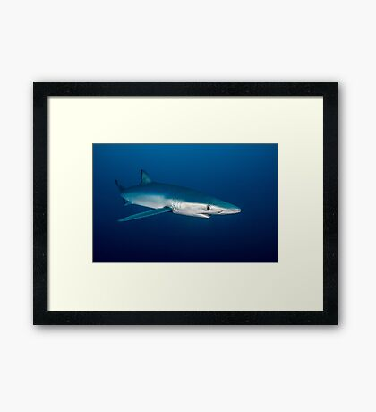 Blue Shark, South Africa Framed Print
