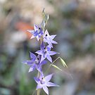Scented Sun Orchid by kalaryder