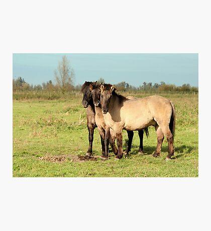 Three Boys - Konik Horse Photographic Print