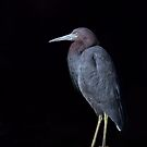 Little Blue Heron  by Jim Cumming