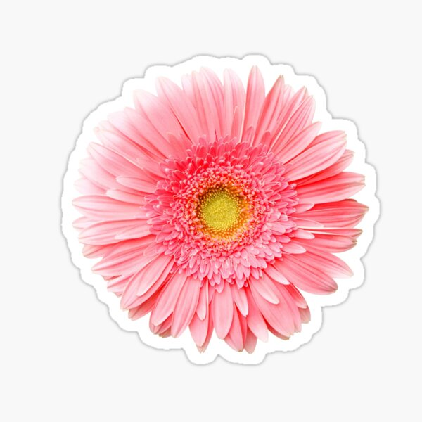 Flower Power, Pink Fresh Gerbera Sticker