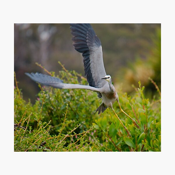 WADER ~ White-faced Heron PGVN3S9Q by David Irwin 2020 Photographic Print