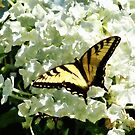 Swallowtail on White Hydrangea by Susan Savad