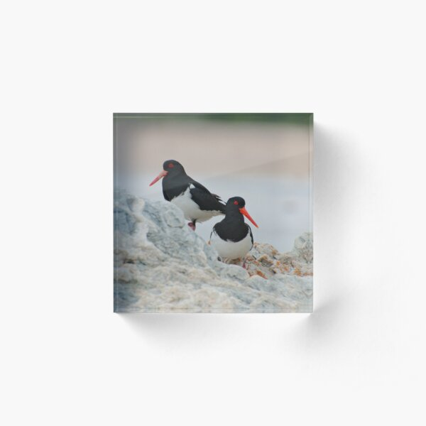 SHOREBIRD ~ Pied Oystercatcher Uh6b7voc by David Irwin 221220 Acrylic Block