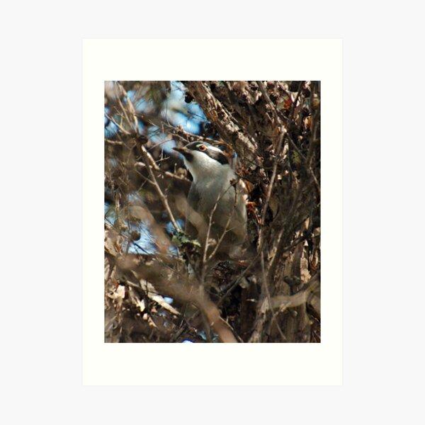 HONEYEATER ~ Strong-billed Honeyeater nK6kZgro by David Irwin 221220 Art Print