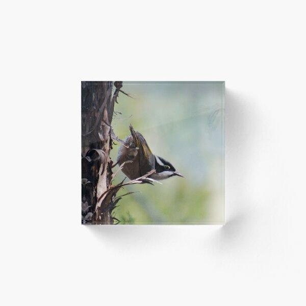 HONEYEATER ~ Strong-billed Honeyeater ctu3pxgY by David Irwin 221220 Acrylic Block