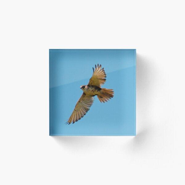 RAPTOR ~ Brown Falcon YCBWJELP by David Irwin 220 Acrylic Block