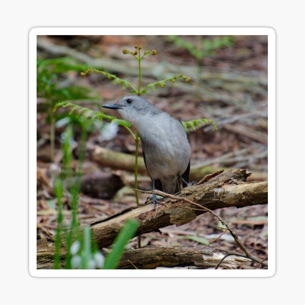 SHRIKETHRUSH ~ Grey Shrikethrush NMCLUZSY by David Irwin 221220 Sticker