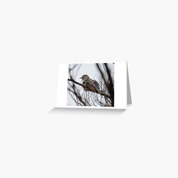 CUCKOO ~ Fan-tailed Cuckoo M243P22R by David Irwin 221220 Greeting Card