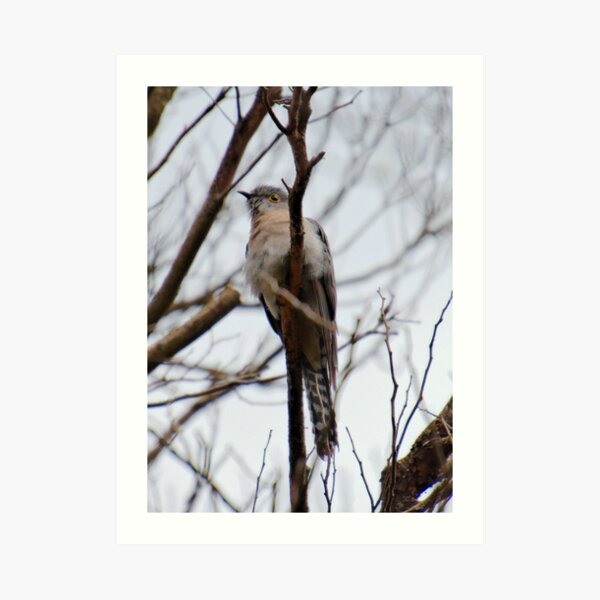 CUCKOO ~ Fan-tailed Cuckoo MXSM5HLU 3 by David Irwin 221220 Art Print