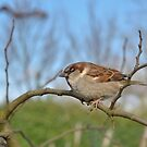 Sparrow by MaartenMR