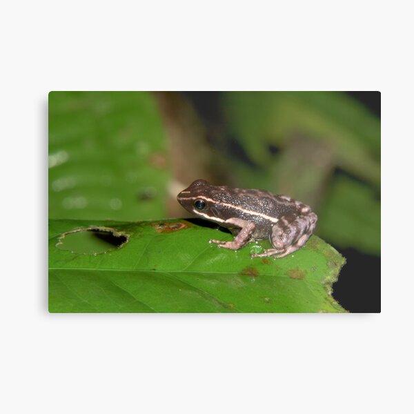 Poison dart frog, Peru Metal Print