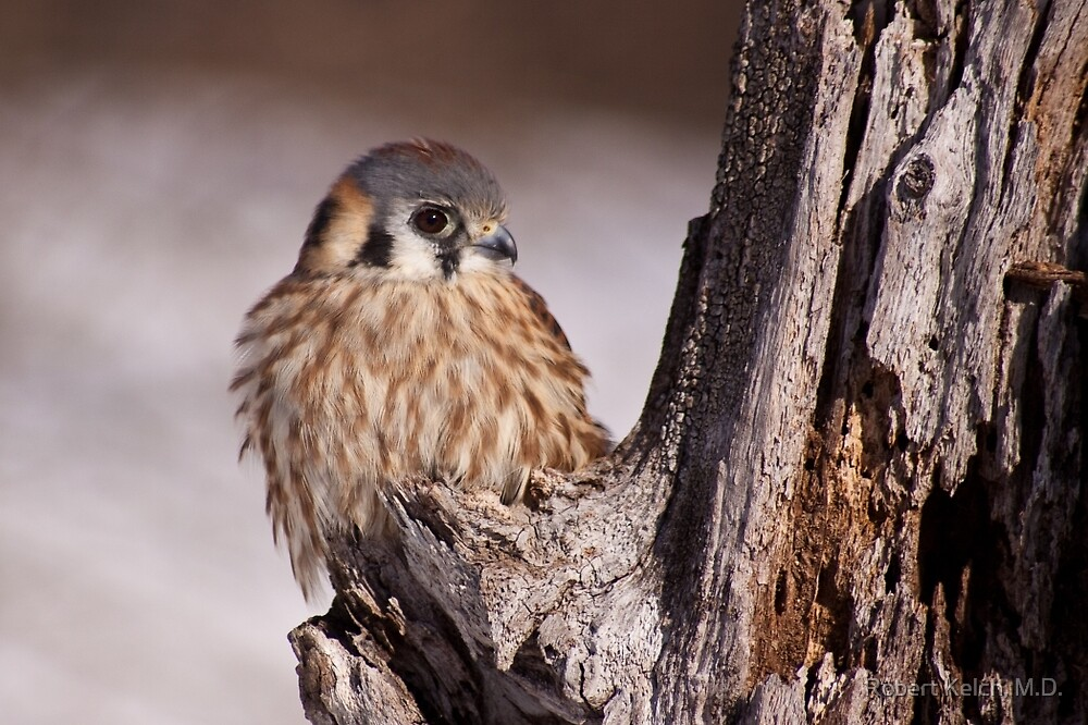 A very cold Kestrel by Robert Kelch, M.D.