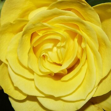 Yellow rose by ladylilith