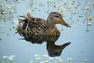 Duck Reflection by Jo Nijenhuis