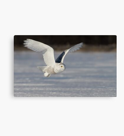 Snowy Owl flyby Canvas Print