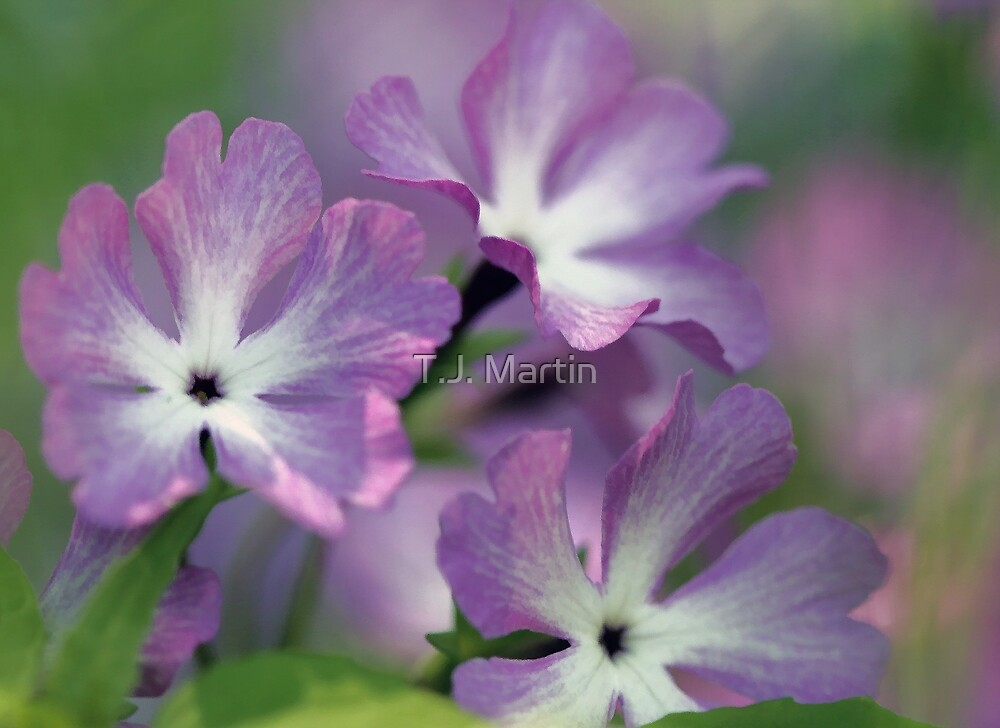 Primrose - Morning Light by T.J. Martin