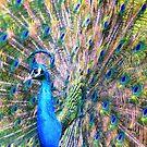 Peacock rainbow by loiteke
