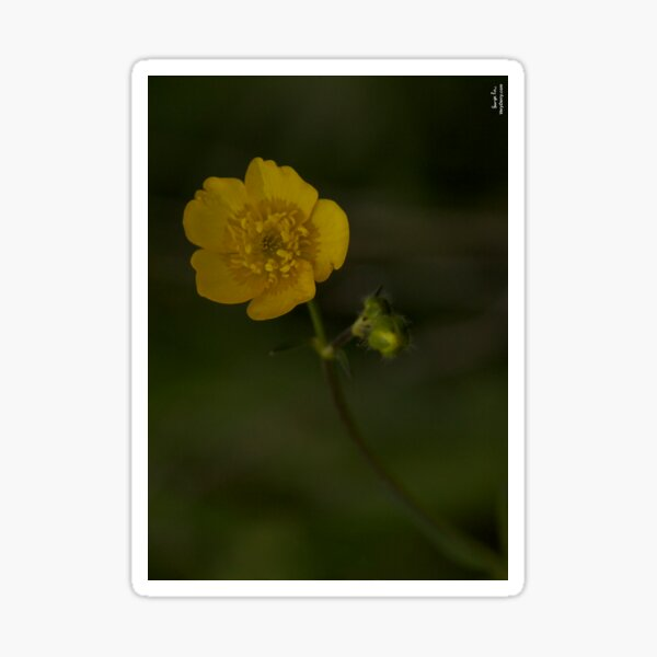 Meadow Buttercup - Burntollet Woods, County Derry Sticker