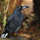 currawong?, at Arthur River  by gaylene