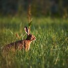 """European hare"" by Andreas Koerner"