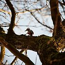 """Great Spotted Woodpecker in search of food"" by Andreas Koerner"