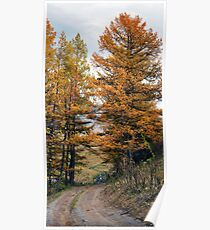 Autumn dirt road larch forest Poster