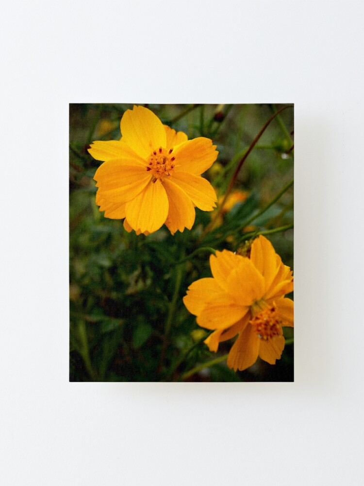 Alternate view of Golden Coreopsis Mounted Print