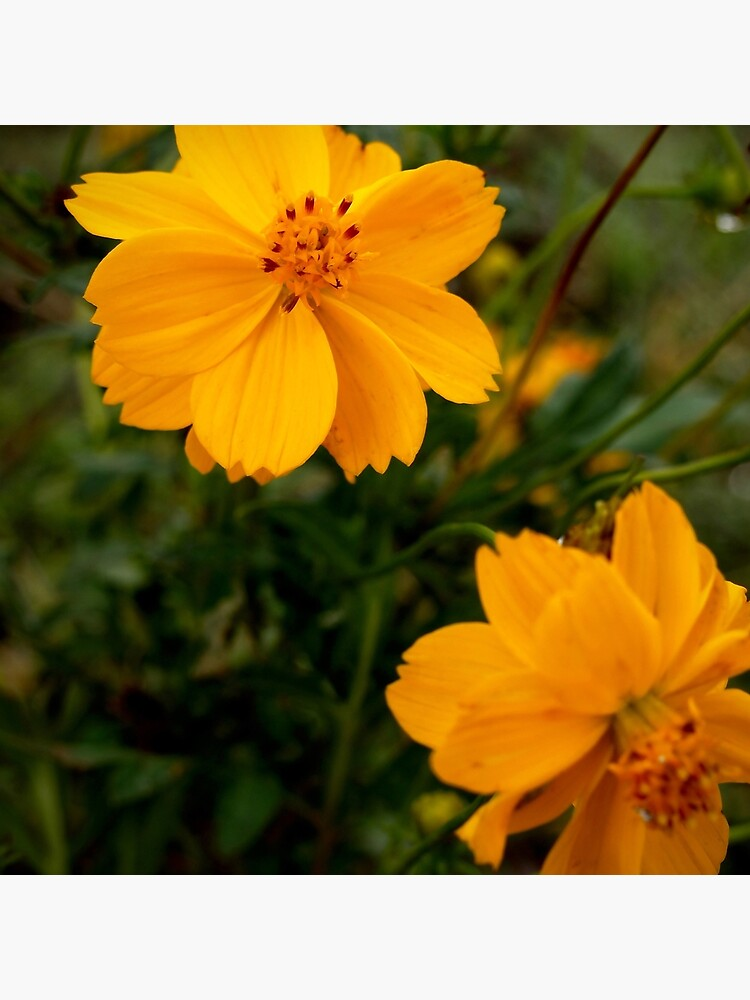 Golden Coreopsis by douglasewelch