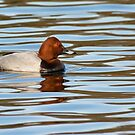 Porchard Duck by M S Photography/Art
