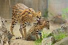 Serval Cat Grooming Her Kitten by Carole-Anne