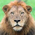 A real lion of the wild! by Anthony Goldman