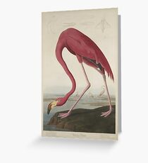 John James Audubon American Flamingo  Greeting Card
