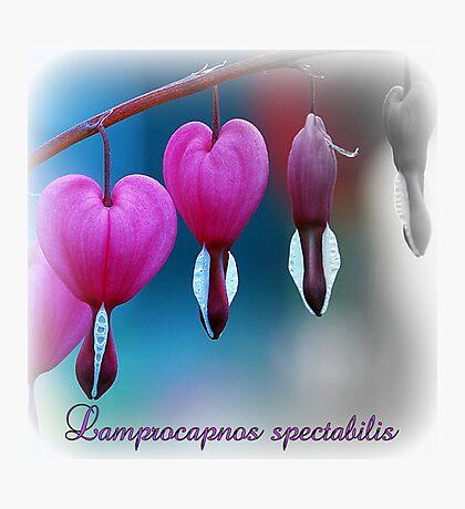 Lamprocapnos spectabilis Photographic Print