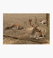 Three Deer Resting Photographic Print