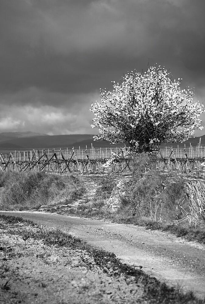 Vineyard Track by Paul Pasco
