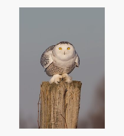 Snowy Owl prepares for liftoff Photographic Print