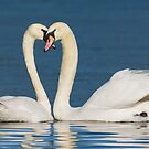 Loving Swans by M S Photography/Art