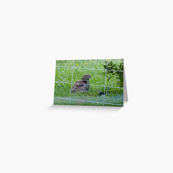 RAPTOR ~ Brown Goshawk PG9FJQNE  Magpie in Grass by David Irwin Greeting Card