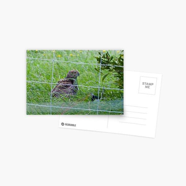 Brown Goshawk, Magpie Postcard